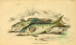 fishes_best-00235 - Ruffe, Greater Weever