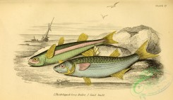 fishes_best-00240 - Thick-lipped Grey Mullet, Sand Smelt