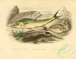 fishes_best-00243 - Common Dolphinfish, Shark Sucker, chaetodon fronticornis (uL)