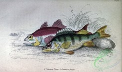 fishes_best-00262 - Common Perch, Common Basse