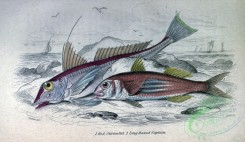 fishes_best-00282 - Red Surmullet, Long finned Captain