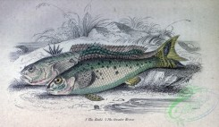 fishes_best-00283 - Ruffe, Greater Weever