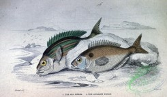 fishes_best-00286 - Sea Bream, Axillary Bream