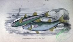fishes_best-00288 - Thick-lipped Grey Mullet, Sand Smelt