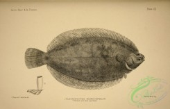 fishes_bw-01502 - black-and-white Lemon Sole, pleuronectes microcephalus