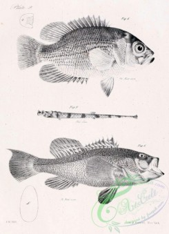 fishes_bw-01717 - black-and-white Freshwater Bass, centrarchus aeneus, Black Sea Bass, centropristes nigricans, American Aspidophore, aspidophorus monopterygius