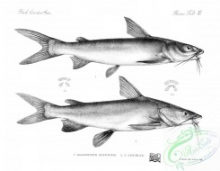 fishes_bw-01931 - 011-galeichthys guentheri, Mayan Sea Catfish, galeichthys assimilis