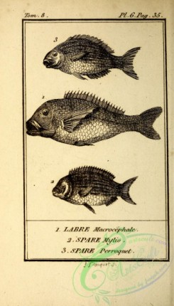 fishes_bw-02177 - 005-labre macrocephale (Fr), spare mylio (Fr), spare perroquet (Fr)