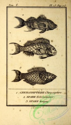 fishes_bw-02181 - 009-cheilodiptere chrysoptere (Fr), spare holocyaneose (Fr), spare rougeor (Fr)