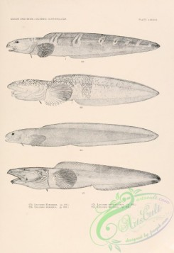 fishes_bw-02449 - 078-Greater Eelpout, lycodes esmarkii, Glacial Eelpout, lycodes frigidus, Arctic Eelpout, lycodes reticulatus, Saddled Eelpout, lycodes mucosus
