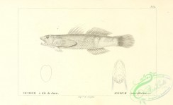 fishes_bw-03262 - 017-Cleft-Lipped Goby, sicydium cynocephalum