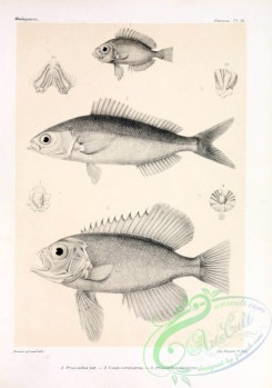 fishes_bw-03466 - 014-Moontail Bullseye, priacanthus fax, Blue And Gold Fusilier, caesio coerulaureus, Longfinned Bullseye, priacanthus alticlarens