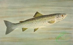 fishes_full_color-00008 - SALMON