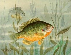 fishes_full_color-00010 - SUNFISH