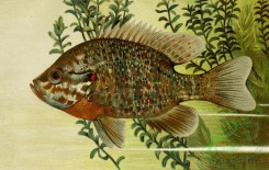 fishes_full_color-00020 - Sunfish