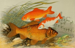 fishes_full_color-00022 - GOLDEN CARP, BRONZE CARP