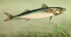 fishes_full_color-00025 - Atlantic Mackerel
