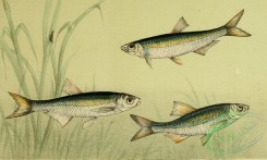 fishes_full_color-00030 - Bleak, Bleak, Schneider