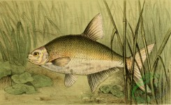 fishes_full_color-00035 - Common bream