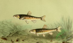 fishes_full_color-00040 - Eurasian Minnow