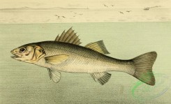 fishes_full_color-00045 - European Seabass