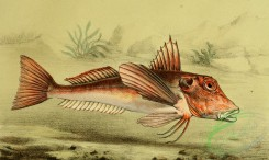 fishes_full_color-00054 - Red Gurnard