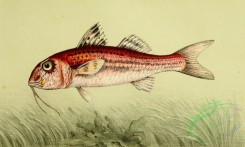 fishes_full_color-00055 - Red Mullet