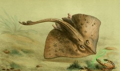 fishes_full_color-00064 - Thornback Ray