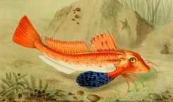 fishes_full_color-00067 - Tub Gurnard
