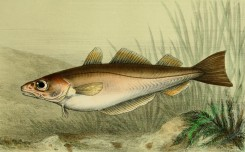 fishes_full_color-00069 - Whiting
