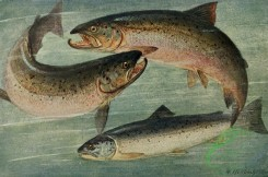 fishes_full_color-00074 - Atlantic Salmon, trutta salar