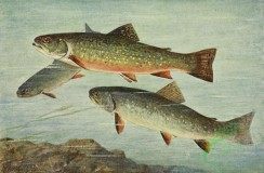 fishes_full_color-00077 - Brook Trout, salmo fontinalis