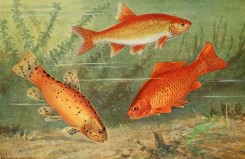 fishes_full_color-00084 - Crucian Carp, carassius vulgaris, Tench, tinca vulgaris, Ide, idus melanotus