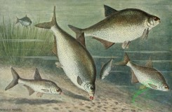 fishes_full_color-00089 - Freshwater Bream, abramis brama