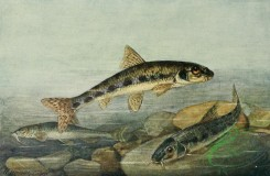 fishes_full_color-00091 - Gudgeon, gobio fluviatilis, Danubian Longbarbel Gudgeon, gobio uranoscopus