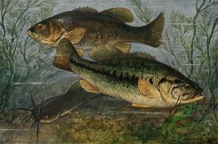fishes_full_color-00094 - Largemouth Black Bass, grystes salmoides, Largemouth Black Bass, grystes nigricans, Brown Bullhead, amiurus nebulosus