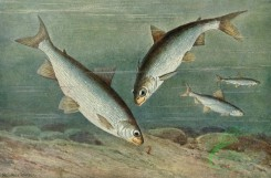 fishes_full_color-00096 - Maraena Whitefish, coregonus maraena