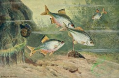 fishes_full_color-00101 - rhodeus amarus