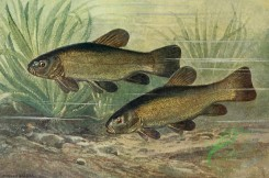 fishes_full_color-00111 - Tench, tinca vulgaris