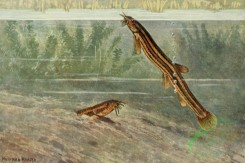 fishes_full_color-00115 - Weatherfish, cobitis fossilis