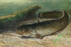 fishes_full_color-00116 - Wels Catfish, silurus glanis