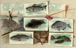 fishes_full_color-00128 - STRIPED BASS, BLACKFISH, SHEEPSHEAD, WEAKFISH, SEAROBIN