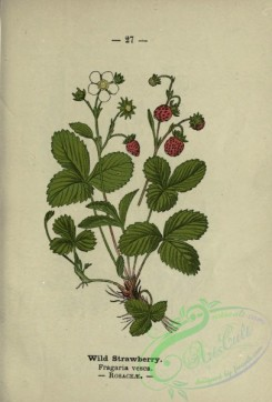 floral_atlas-00232 - Wild Strawberry, fragaria vesca