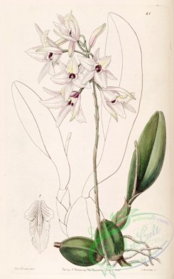 florida_orchids-00042 - Laelia rubescens - Edwards vol 26 (NS 3) pl 41 (1840)
