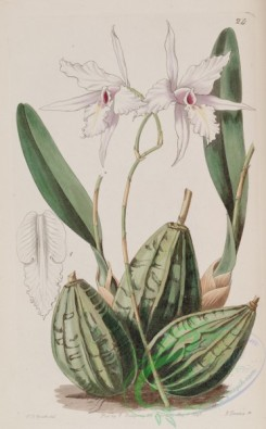 florida_orchids-00043 - Laelia rubescens (as Laelia acuminata) - Edwards vol 27 (NS 4) pl 24 (1841)