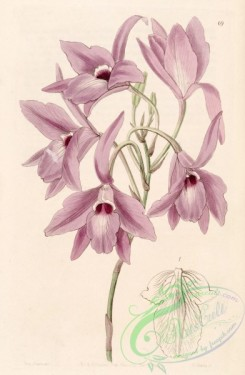 florida_orchids-00044 - Laelia rubescens (as Laelia peduncularis) - Edwards vol 31 (NS 8) pl 69 (1845)