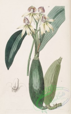 florida_orchids-00048 - Prosthechea cochleata (as Epidendrum lancifolium)-Edwards vol 28 pl 50 (1842)