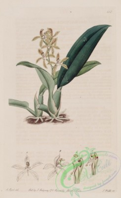 florida_orchids-00053 - Macradenia lutescens - The Bot. Register v. 8 (1822) pl. 612