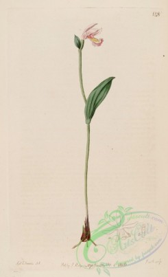 florida_orchids-00056 - Pogonia ophioglossoides - The Bot. Reg. 2 pl. 148 (1816)