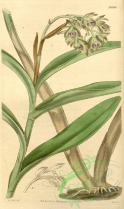 florida_orchids-00080 - Epidendrum anceps (as Epidendrum viridipurpureum) - Curtis' 65 (N.S. 12) pl. 3666 (1839)